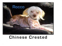 Chinese Crested Small Dog Breed