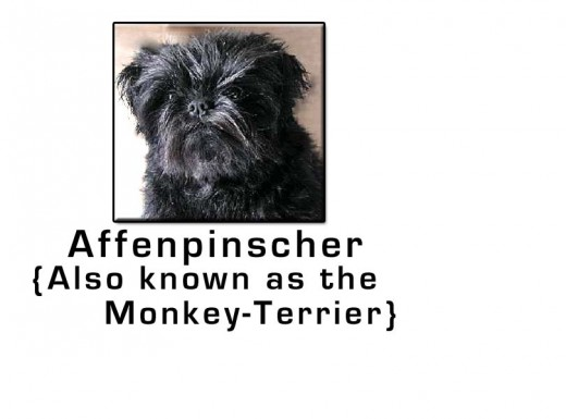 Affenpinscher Small Dog Breed