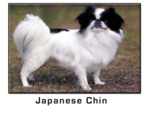 Japanese Chin Small Dog Breed