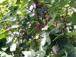 Fig Trees for sale - What type of Fig Tree should you get?