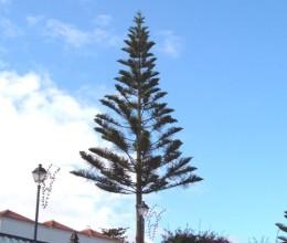 Norfok Pine