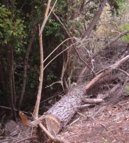 Dead pine tree cut down above Los Silos. Photo by Steve Andrews