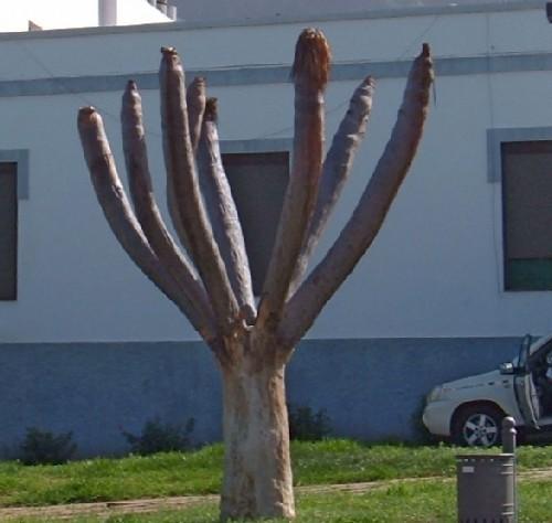 Dead Dragon Tree in Buenavista. Photo by Steve Andrews