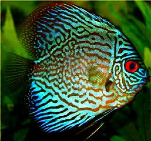 Tropical fish compatible with bettas for What fish are compatible with betta fish