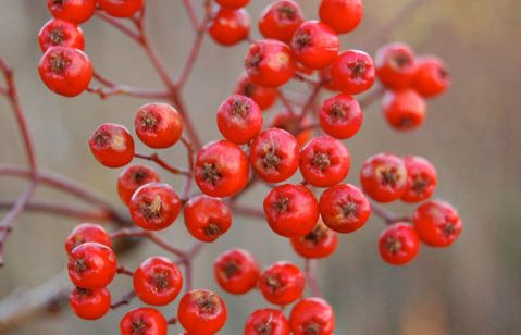 Rowan berries showing their pentagram