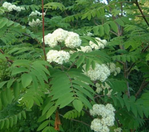 The rowan tree (Sorbus aucuparia) in flower