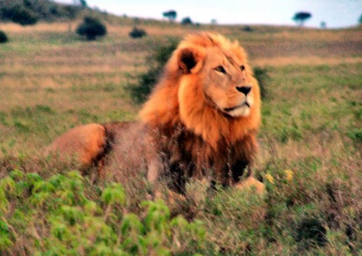 Lion in Kenya