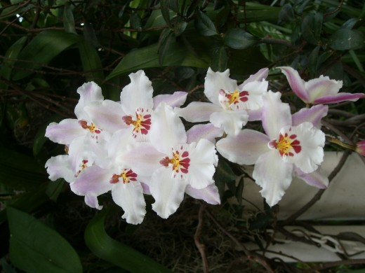 Fall in Love or White Fairy Orchids