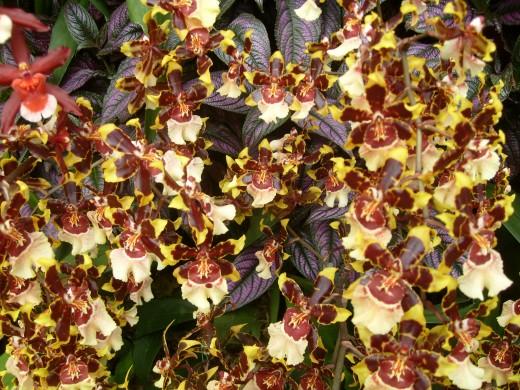 Lots of Dancing Ladies Orchids