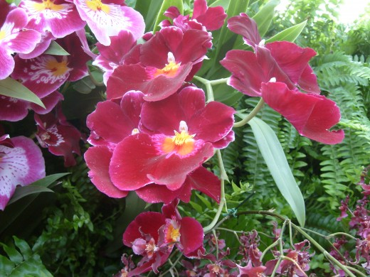 Pansy Orchids