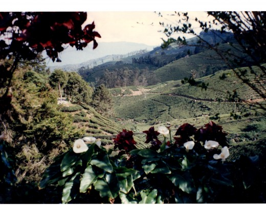 Tea plantation in beautiful Cameron Highlands, Malaysia. Viewed through a grove of Angel Trumpets.