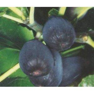 Black Jack Figs