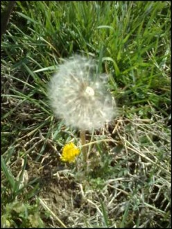 Dandelion Faith, The Wish