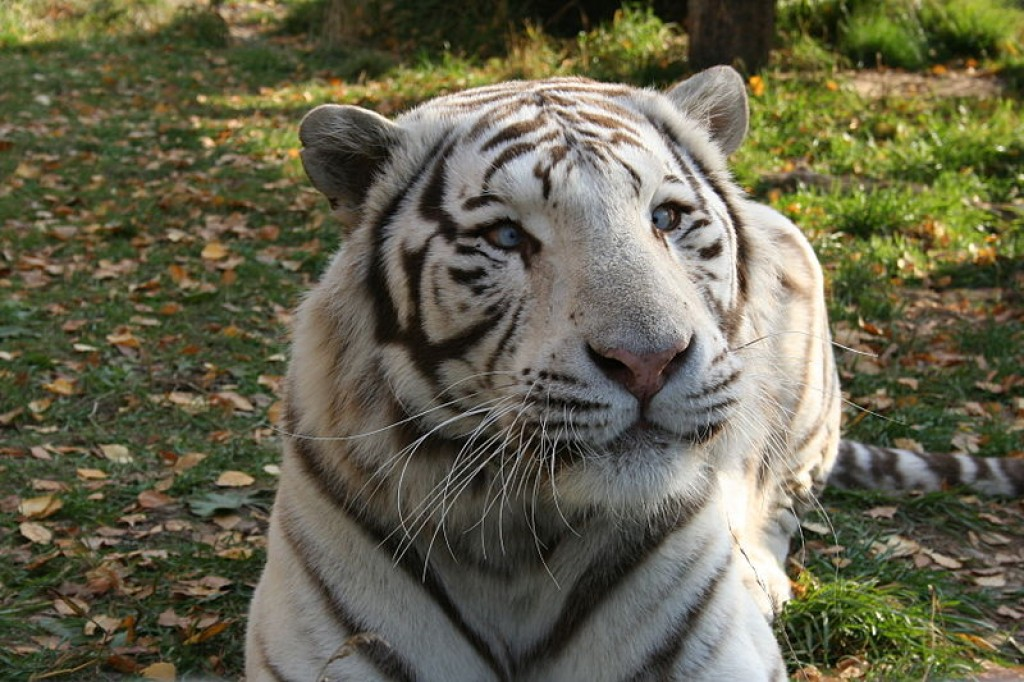 White Bengal Tigers A Harmful Genetic Mutation Hubpages