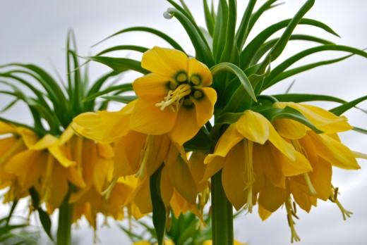 A yellow flower cultivar of Crown Imperial.