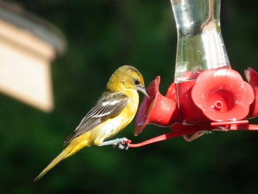 Female Baltimore Oriole at hummingbird feeder
