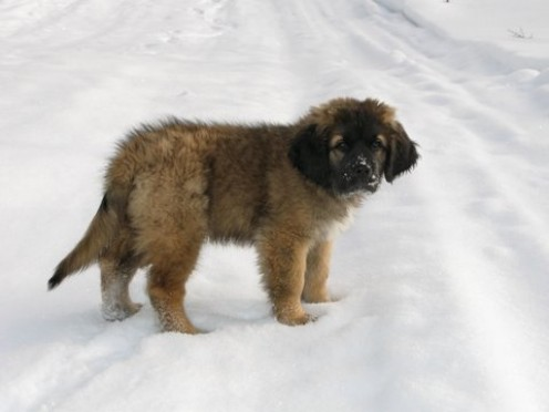 Leonberger Puppies on Cute Leonberger Puppy Roy Plays In The Snow