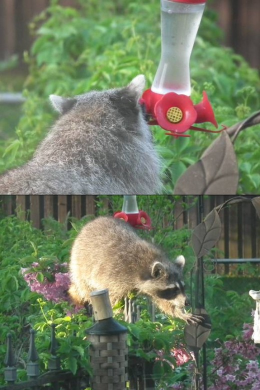 Raccoon imitating a hummingbird!