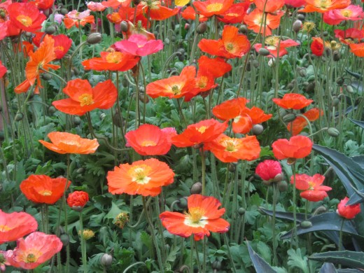 Iceland Poppies at the Bellagio Conservatory. Such a stunning array of colors!
