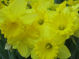 Some of the amazingly pretty Daffodils!