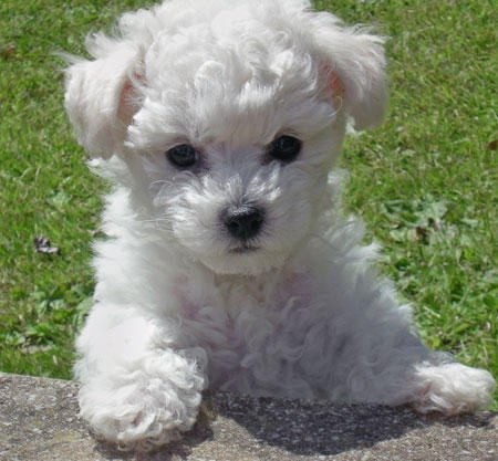 This Bichon Frise puppy photo was taken from the Dog Blog/Dog Treats site.  Lots of good information on this site together with treats and toys.