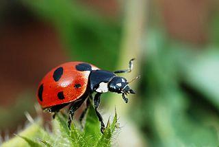 A Ladybird in focus