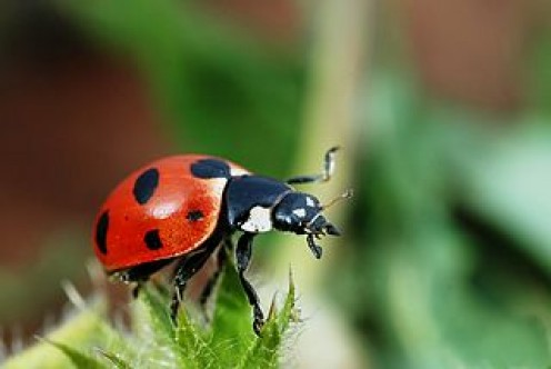 A Ladybird in focus