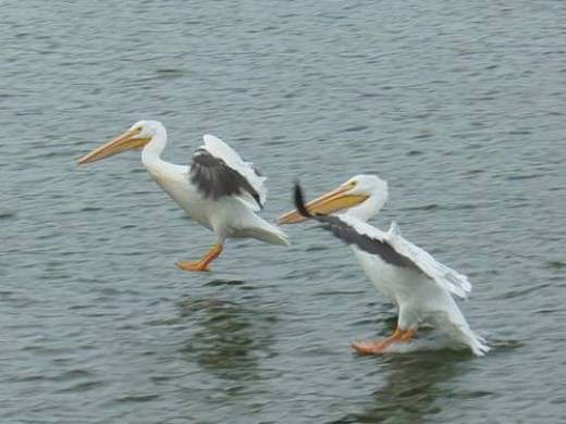 Pelicans Scavenging For Left Overs!