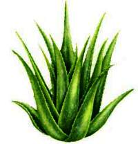 Aloe vela is great mask for skin in order to achieve a glowing skin.