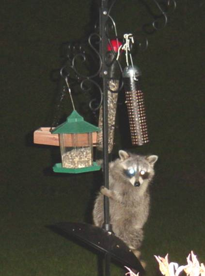 Raccoon Climbing the Bird Feeder