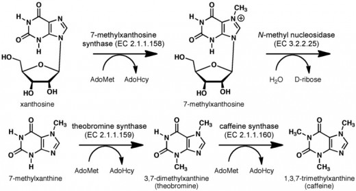 Biosythesis of caffeine from xanthosine. (Click to enlarge.)