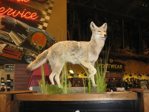 A coyote mount.