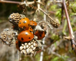 As a child it seems I always so ladybirds around in the summer. These days it's rare.Are they dwindling or is my memory fading.?