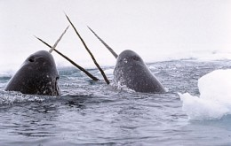 Narwhals: public domain photo by Glenn Williams at the National Institute of Standards and Technology