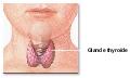 Thyroid Gland and Goiter