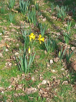Spring Daffodils in the Park