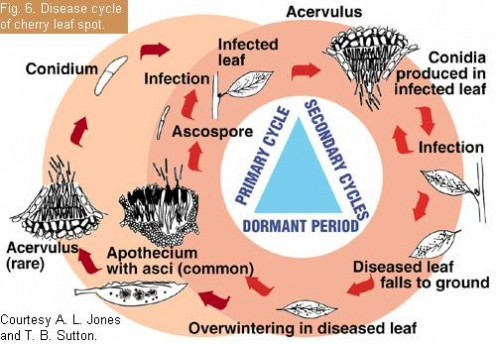 If you are curious, this chart shows the disease cycle of cherry leaf spots.  Great job by WVU.