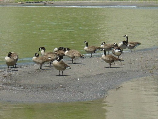 Canada Geese at Bluffers Park, Toronto, Ontario