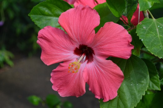 A pretty salmon pink colored hibiscus flower.