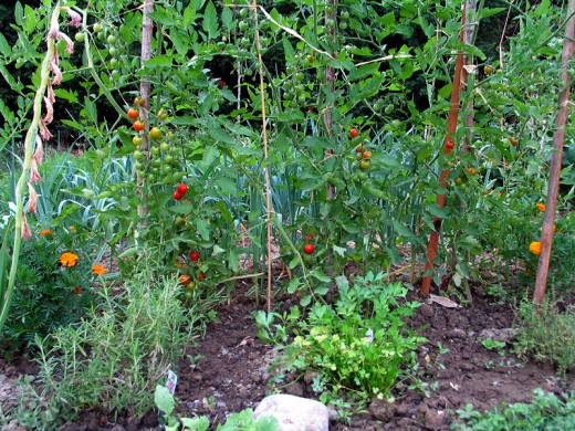 A kitchen garden ready for the picking!