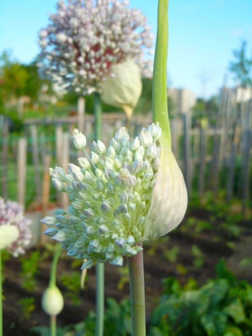 "Bulbil commonly called the ""garlic flower"""