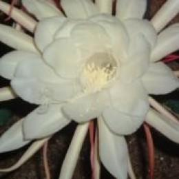 Moonflower - my hub emblem