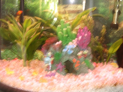 In this completed 16 gallon setup, I have included a few live plants that tropical fish species find attractive and at the same time provide an alternative food choice. Also make sure that you have at least 3 inches of gravel before you add plants.