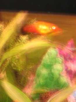 In the foreground is a member of the platy group of tropical fish called a sunset platy. Sunset platy's and other related species, are good fish to start off with in any new aquarium. The reason being is that they are very hardy.