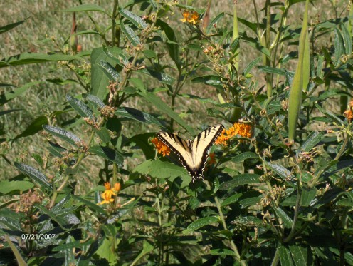 This is a butterfly on Orange Milkweed.  They love this flower.  It is very pretty in orange, it just doesn't last as long in bloom as the coneflowers and brown eyed susans.