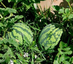 Watermelon Growing Tips