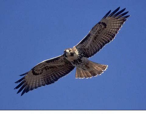 Hawk Messenger