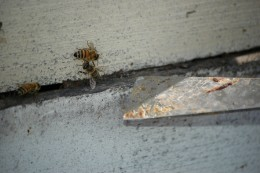 Bees have used propolis to seal a crack between the boxes that makeup a beehive.