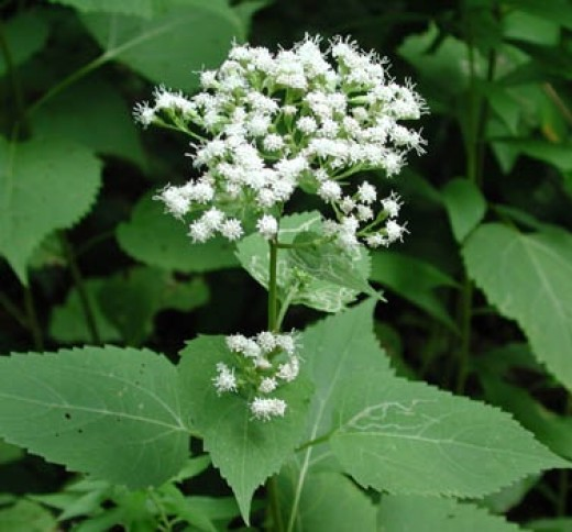 Clustered flowers of the White Snakeroot