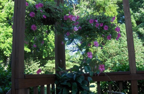 This is a deck corner with hanging petunias and ground containers of Hibiscus to draw in Hummingbirds